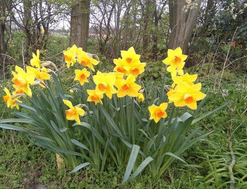 Narcissen-plantdag Amsteloevers